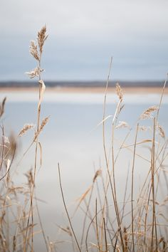 A quiet view of the blue grey lake through the wheat. Fine art photo entitled Quietly - 8 X 12.  CarlaDyck  $40