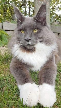 When it comes to Maine Coon Vs Norwegian Forest Cat both can make good pets but have some traits and characteristics that are different from each other Pretty Cats, Beautiful Cats, Animals Beautiful, Stunningly Beautiful, Cute Cats And Kittens, Cool Cats, Funny Kittens, Adorable Kittens, Cute Baby Animals