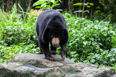 Malayan Sun Bear.  omnivores. Their diet also includes fruits, insects, small mammals, and birds. Their natural habitat is in southern part of China and Southeast Asia.