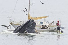 Humpback whale! Stand-up paddler gets a surprise. ~by Bill Bouton, via Flickr