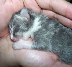 tiny baby kitty sucking it's paw