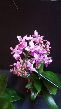 Phalaenopsis equestris   OrchidCraze: MAHA Orchid Show 2012