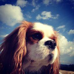 Harvey, Cavalier