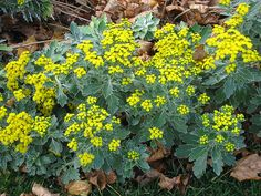 Ajania pacifica (Chrysanthemum pacificum) is perhaps the last perennial to flower, starting in late September and continuing through October. Flowers are small but numerous. Individual flowers are bright gold, button-like and last for several days.