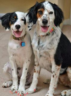Lillian the English Setter Mix Pictures 1049326