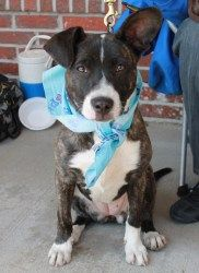 Bryn - 8 mths old is an adoptable Border Collie Dog in Albany, NY. Bryn is a 8 month old Border Collie/Pit Bull mix puppy who is always happy! She is smart and enthusiastic, and has great focus. Bryn ...