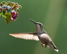 Are hummingbirds the only birds that fly backward? While hummingbirds are probably the champions of backward flight, they are by no means the only birds that can fly in this way. When two herons or egrets fight, periodically one of them caught at a disadvantage in the dispute will flutter backward. Occasionally warblers fluttering at the tip of a branch as they pick off insects will flutter backward to a better position. Flycatchers regularly flutter backward when they overshoot some…