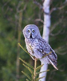 Great Grey Owl (Strix nebulosa). Photo by S.P. Bhargav.