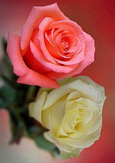 White and pink Roses via Lovely Roses Facebook page