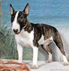 Miniature Bull Terrier - Miniature Bull Terrier - Small Dogs