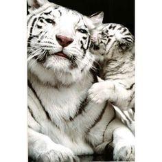 White Siberian Tiger Cubs   Details about White Siberian Tiger with Baby Tiger Cub Animal Print ...