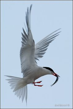 Common Tern (Sterna hirundo) is a seabird of the tern family Sternidae. This bird has a circumpolar distribution, its four subspecies breeding in temperate and subarctic regions of Europe, Asia and North America. It is strongly migratory, wintering in coastal tropical and subtropical regions.