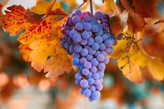 Fall Grapes From The Yakima Valley by Lynn Hopwood Fruit Photography, Still Life Photography, Grape Painting, Yakima Valley, Fruits Drawing, Red Grapes, Natural Scenery, Fruit Garden, Creative Photos