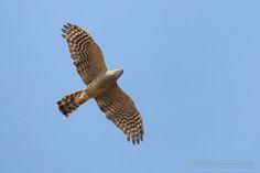 eurasian sparrowhawk | Eurasian Sparrowhawk (Accipiter nisus)