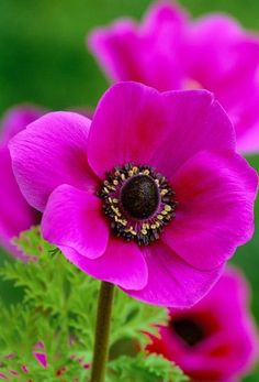 I have loved anemone's ever since 1966 when my dad planted some in our backyard.  The flowers bloom in beautiful vibrant color.