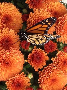 Today the monarch butterflies were released! Monarch Butterfly, Early Childhood, Butterflies, School, Butterfly, Infancy, Papillons, Childhood, Caterpillar