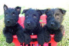 Scottie pups!