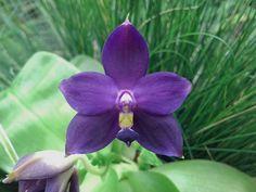 Phal. violacea var. indigo 'Monster' AM mobile upload by rdlsreno, via Flickr