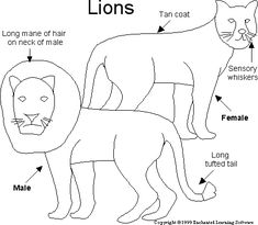 life cycles  a lion and lion on pinterestlion printout  enchantedlearning com