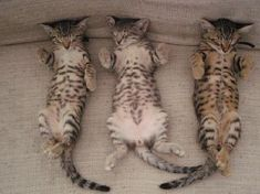 bengal kittens, these little cats are so precious(;