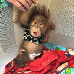 Baby Monkey In Playpen Zoo Animals, Animals And Pets, Funny Animals, Orang Utan, Cute Baby Monkey, Baby Orangutan, Cute Little Animals, Cute Animal Pictures, Animal Memes