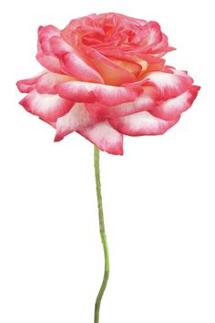 Pink Rose on White Frameless Free Floating Tempered Glass Panel Graphic Art