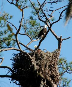 American Bald Eagles.  There's an eagle nest not too far from my home....