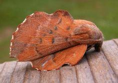 Lappet Moth (Phyllodesma americana) Europe and Northeast Asia