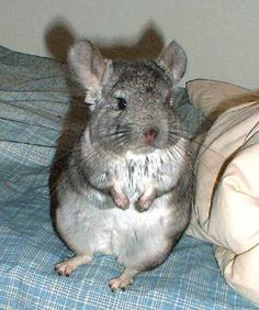 4 tips to make your chinchilla clean and happy URL: http://chinchilla.co/ Fb fan page: https://www.facebook.com/chinchilla.co