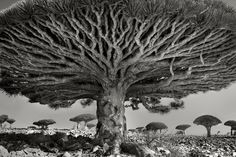 Heart of the Dragon. Socotra, Yemen, 2010.       Living up to 500 years, these bizarre trees are unique to the island of Socotra. Growing in severe conditions, the tree has raised its branches upward over time in an effort to obtain moisture from the highland mists. Once part of a vast forest, these remaining trees are now classified as endangered.
