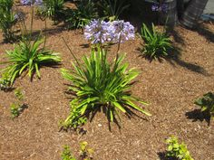 Blue Agapanthus. Discover more of paradise perfected at The Dana - http://www.thedana.com