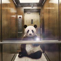 Panda selfie! Another one of NatGeo's advertisement photos.