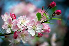 Apple Blossom Flower, Cherry Blossom Tree, Blossom Trees, Apple Blossoms, Botanical Flowers, Botanical Gardens, Beautiful Flower Arrangements, Beautiful Flowers, Video Rosa