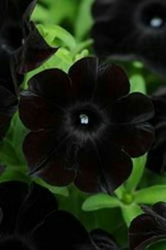 Petunia Care, Gothic Garden, 1 Tattoo, Black Garden, How To Attract Hummingbirds, Black Flowers, Seed Pods, Black Magic, Flowers