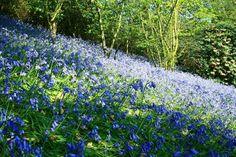 Bluebells April 2014 at Emmetts Garden, Kent