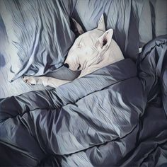Lol me this morning... Tag someone who didn't wanna get out of bed this morning! Photo credit: @illy_ibiza English Bull Terrier Art Picture