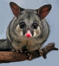 Australian possums are mainly herbivores but they are also known to eat birds eggs grubs and even small rats. They're considered a pest in many parts of Australia. Australian Possum, Australian Birds, Cute Australian Animals, Australian Garden, Reptiles, Mammals, Possum Facts, Cute Baby Animals, Animals And Pets
