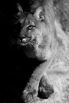 Mountain Lion FlickrContrasting Mountain Lion by JasonBrownPhotography on Flickr