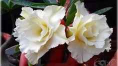 Rosa do deserto  TS 274 Belissima!!!