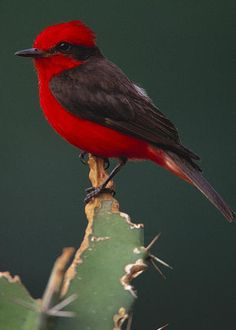 Vermilion Flycatcher by Art Wolfe