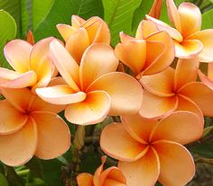 Plumeria...I love these flowers for two reasons: 1. They are from Hawaii. 2. They are so perfect looking that they seem fake in pictures.