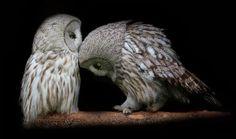 Kiss - Animal Kissing - Owl Kiss - Owl Couple - Kissing - Tenderness - Happiness - Love - Adorable - Owl Head Bump (Kiss on Forehead).jpg @ www.wikilove.com