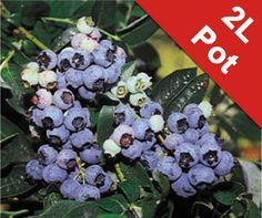 Blueberry 'Herbert' Bush - Vaccinium corymbosum - 2L Pot
