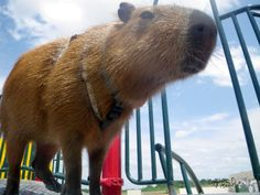 giant rodent roams the play yard striking fear in to all that see. Rodents, Raccoons, Quokka, Guinea Pigs, Beautiful Creatures, South America, Mammals, Play Yard, Capybara