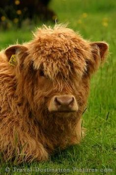 I want to pet one of these fuzzy Highland cows in Scotland