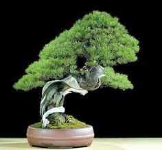 Stunning pine by Steven Tolley!