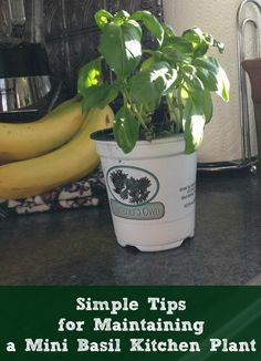 Tips for Maintaining a Mini Basil Kitchen Plant