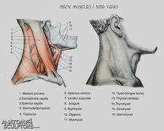 Neck muscles side view ✤ || CHARACTER DESIGN REFERENCES | キャラクターデザイン • Find more at https://www.facebook.com/CharacterDesignReferences if you're looking for: #lineart #art #character #design #illustration #expressions #best #animation #drawing  #reference #anatomy #traditional #sketch #artist #pose #gestures #how #to #tutorial #comics #conceptart #modelsheet #torso #shoulders #neck || ✤