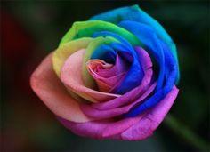 regenboog roos, hoe kan dat!?!