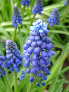 Grape Hyacinth (Muscari) These are one of my favorite flowers.,they smell amazing! Bloom, Garden Journal, Blue Garden, Growing Grapes, Chelsea Flower Show, Exotic Plants, Purple Flowers, Spring Flowers, Garden Plants